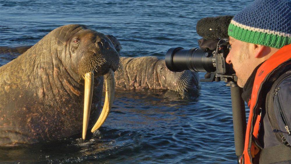 Auge in Auge mit dem Walross