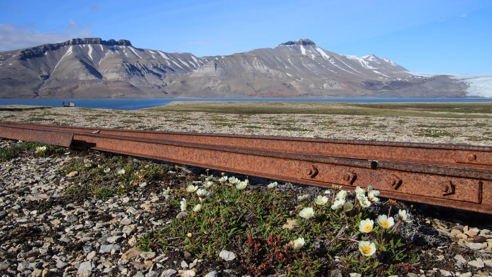 Blumen auf Spitzbergen bei Brucebyen