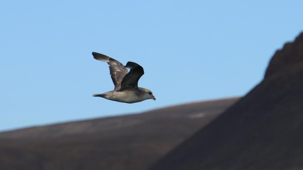 Eissturmvogel auf Spitzbergen