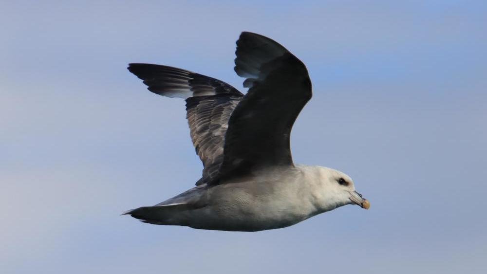 Spitzbergens Eissturmvogel