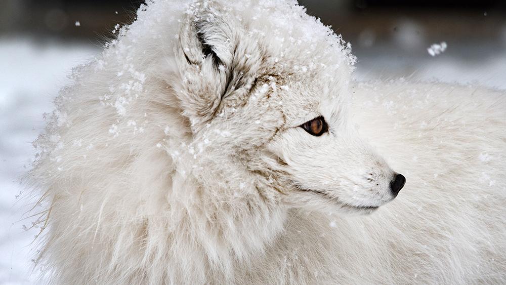 Polarfox in snow