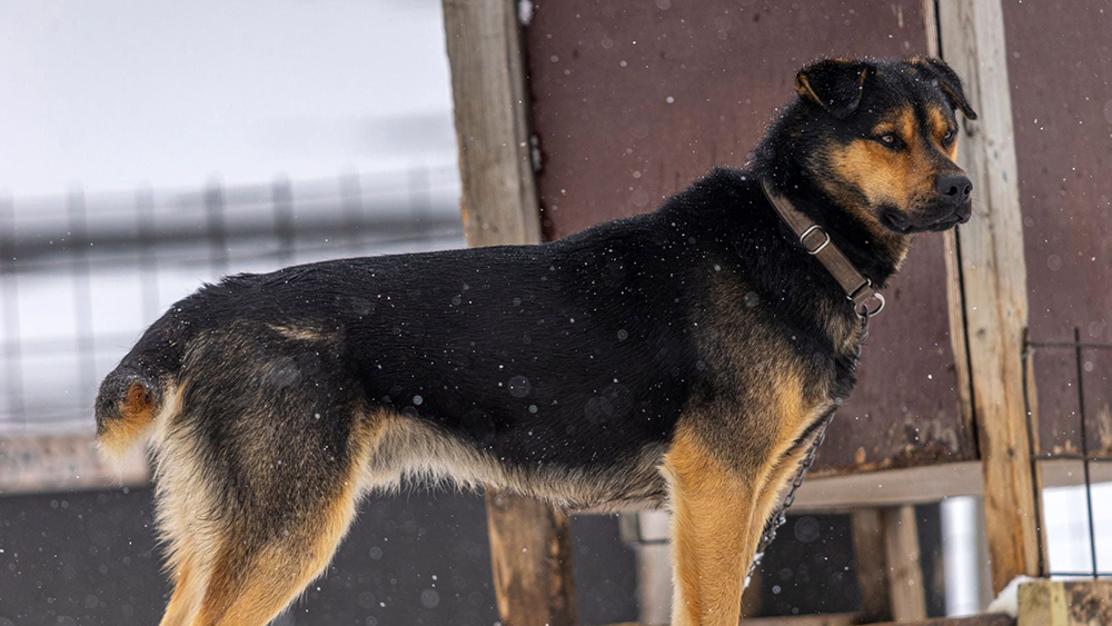 Schlittenhund auf Spitzbergen