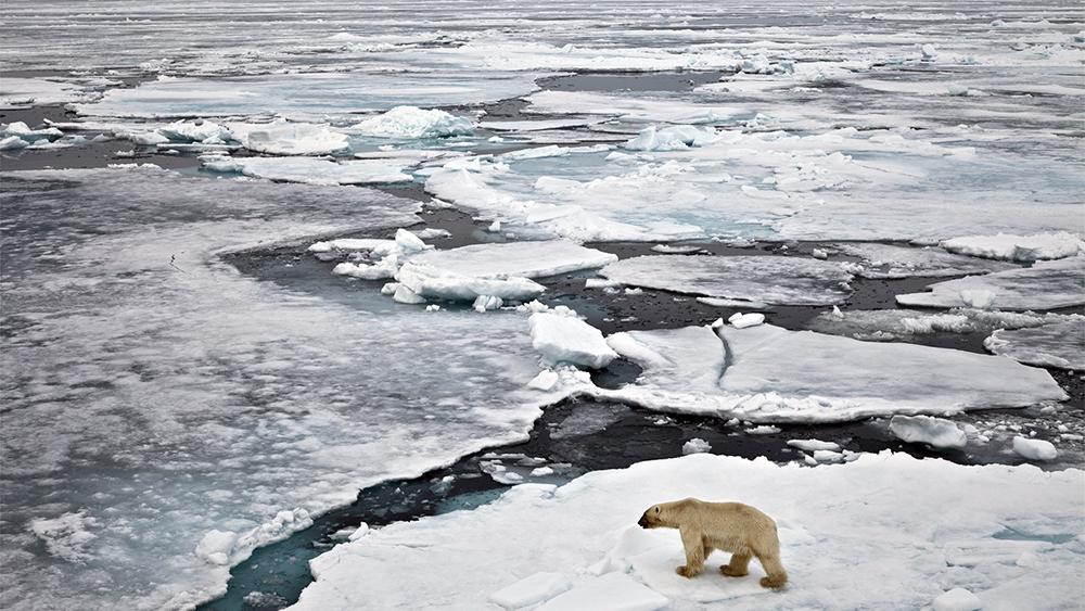 Eisbär auf dem Driftens