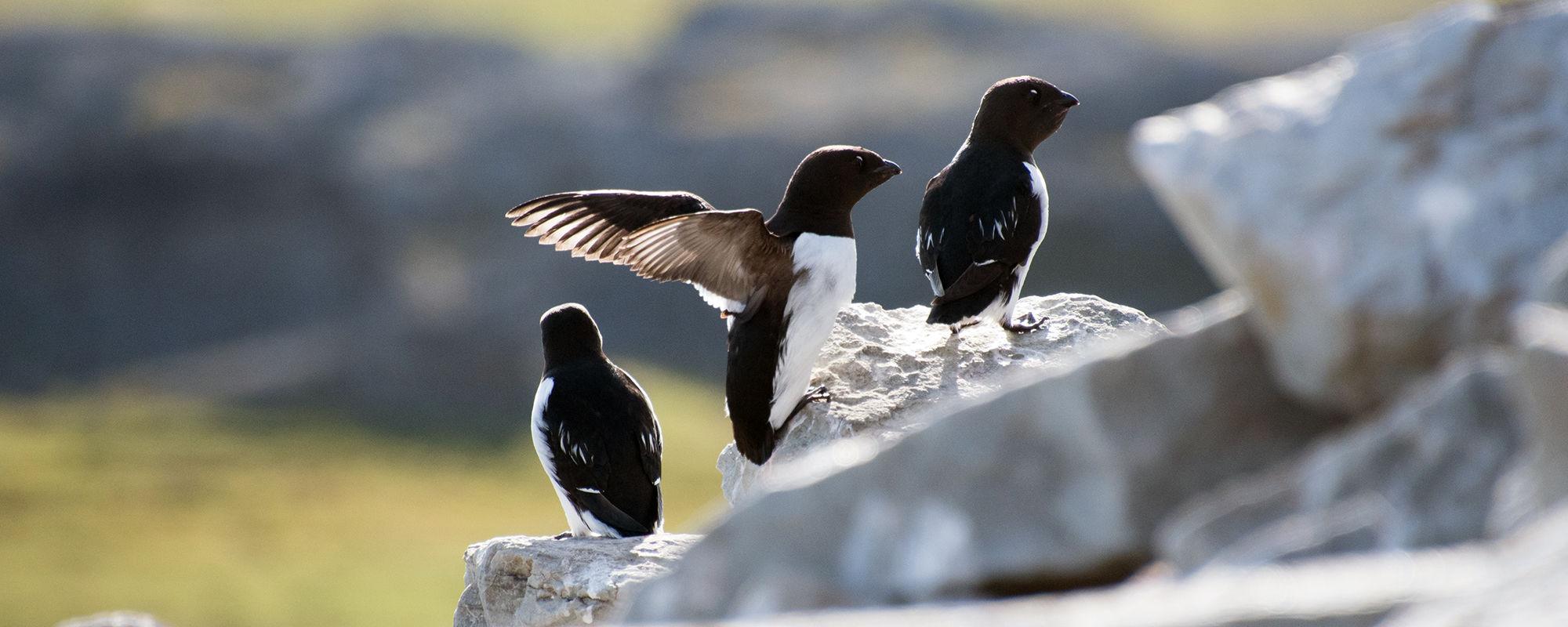 Krabbentaucher, Spitzbergen