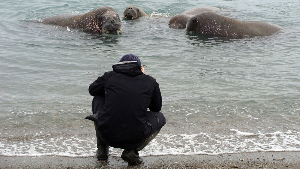 Walross im Wasser