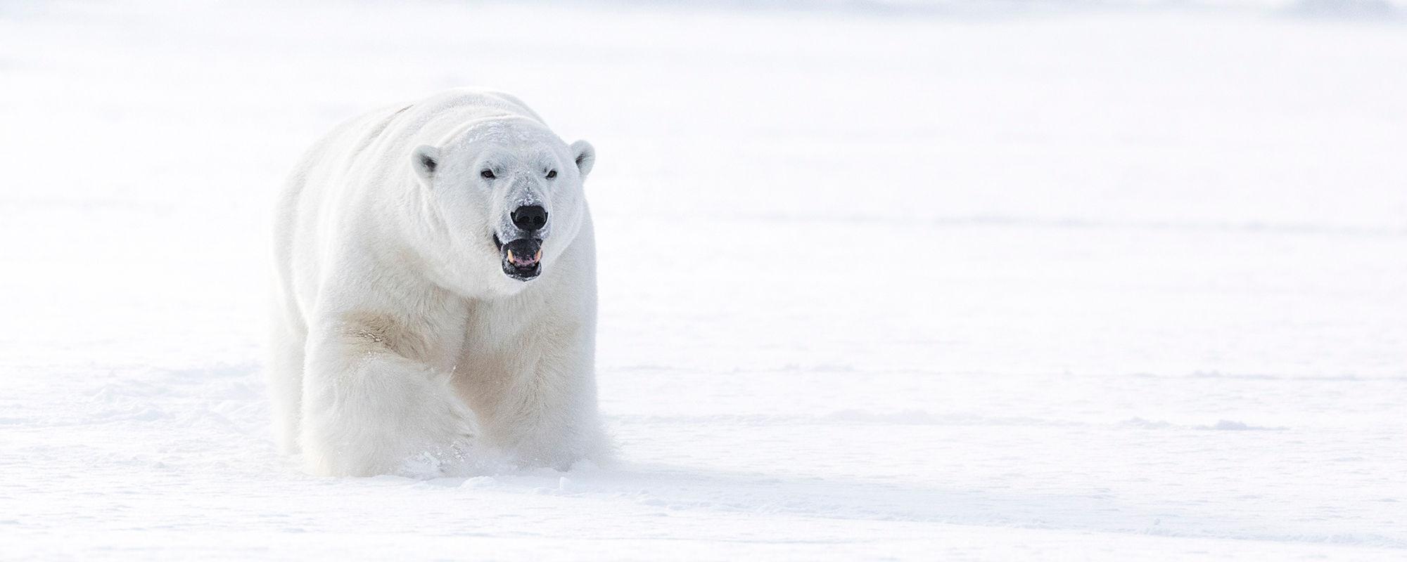 Polarbear at the East Coast on Svalbard
