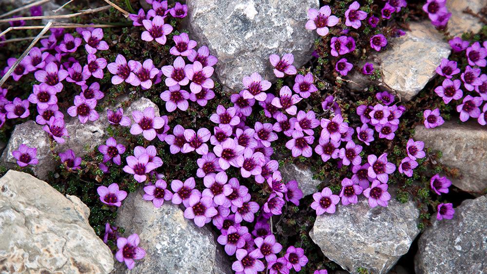 Blumen auf Spitzbergen
