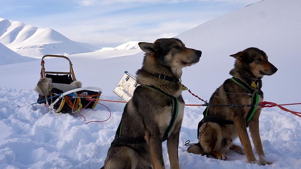 Schlittenhunde auf Spitzbergen