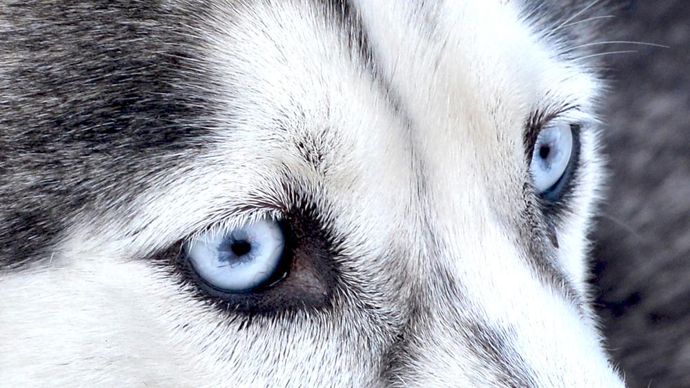 Schlittenhunde fahren auf Spitzbergen