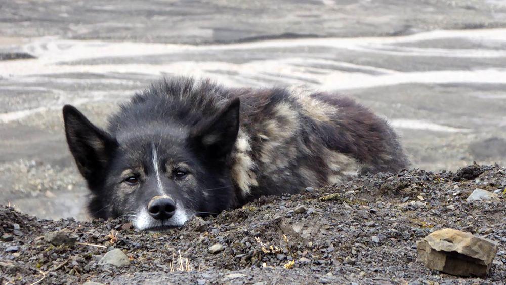 Husky auf Spitzbergen
