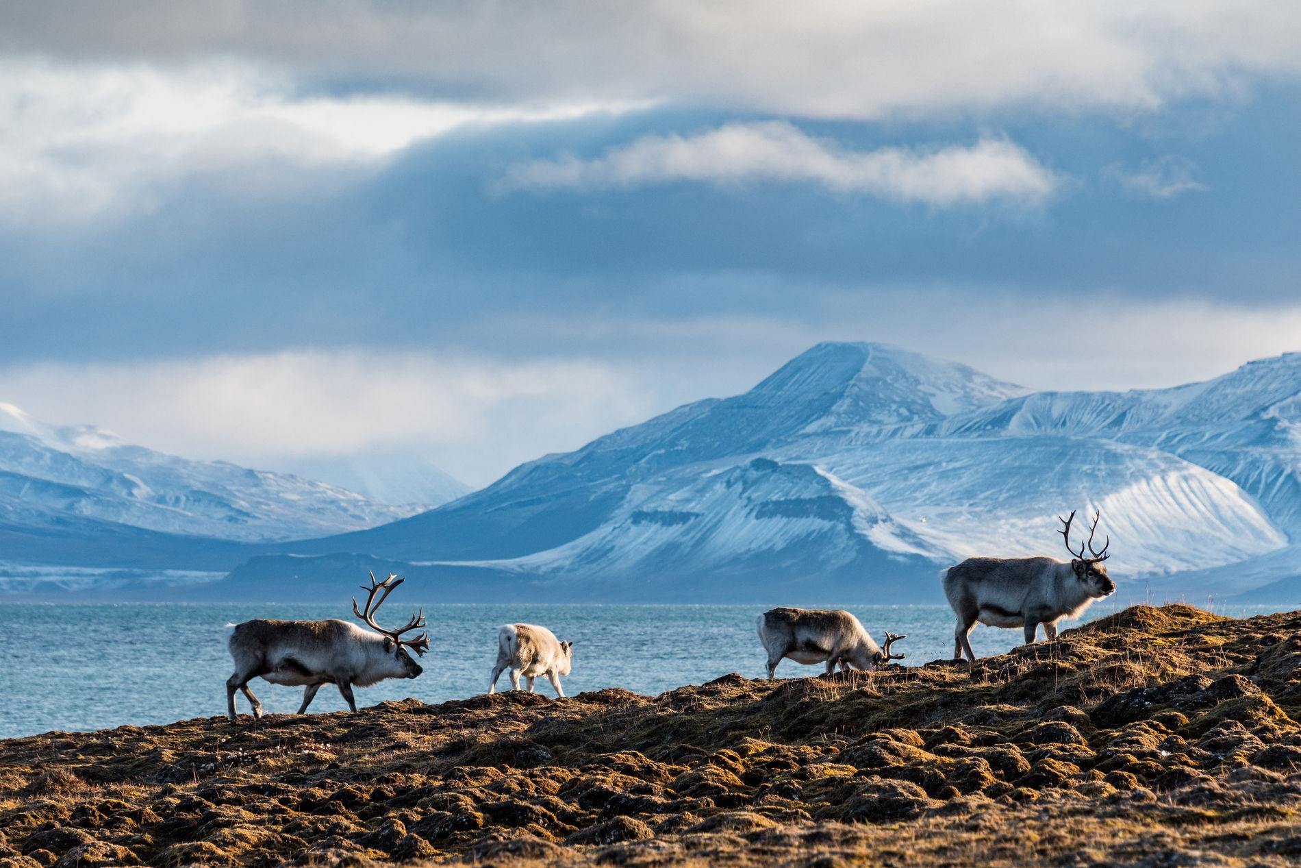 Rentiere auf Spitzbergen