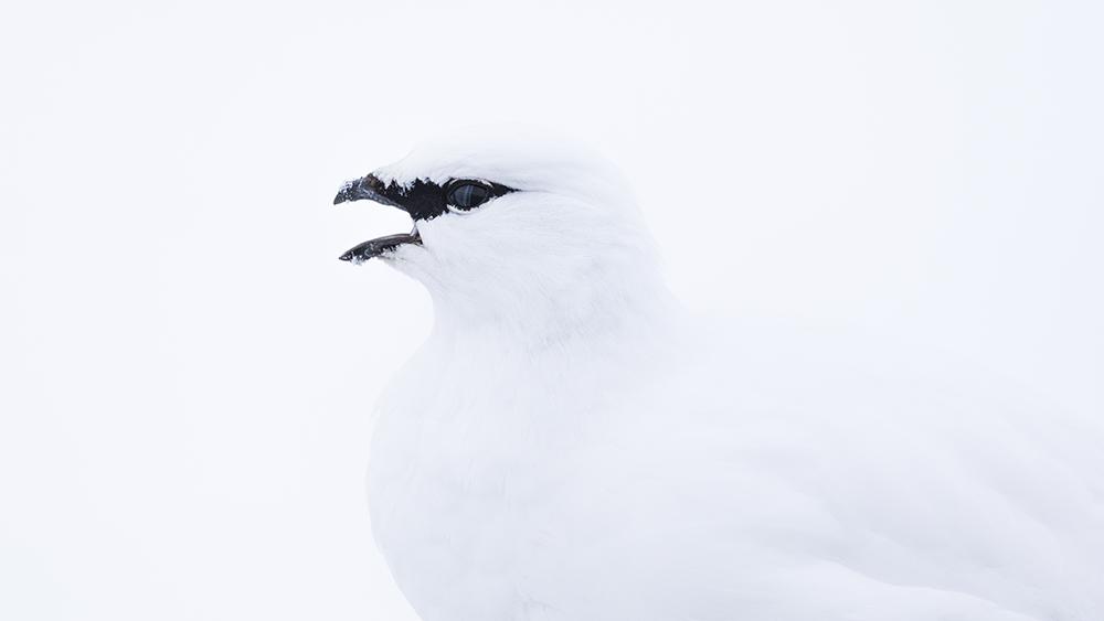 Spitzbergen Schneehuhn